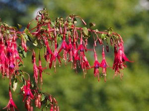 Fuchsia in the garden of the Long Linhay, Mortehoe